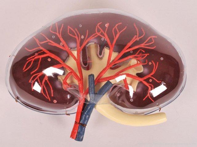 動物での日本科学研究所成長腎臓の仕事
