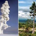 世界で9500年最も古い木は、中央スウェーデンの山で発見されました