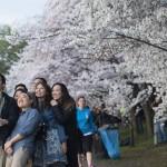 日本の伝統的なチェリーの花には特別な意味があります